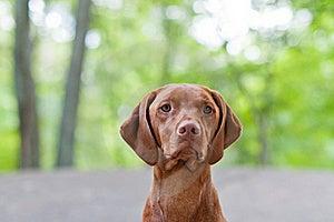 Vizsla Dog (Hungarian Pointer) Portrait Stock Photo - Image: 17721660