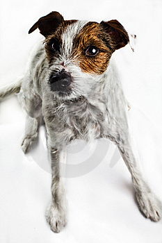 Dog - Jack Russel Terrier Royalty Free Stock Images - Image: 17724039