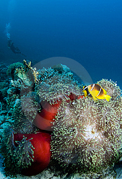 Clownfish With Diver Royalty Free Stock Photos - Image: 17728288