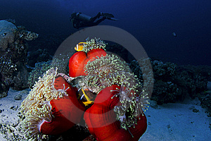 Clownfish And Diver Royalty Free Stock Photos - Image: 17728328