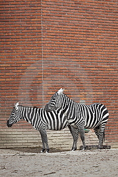 Couple Of Plains Zebras Stock Photo - Image: 17730310