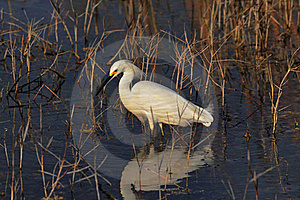 Snowy Egret Royalty Free Stock Photography - Image: 17731127
