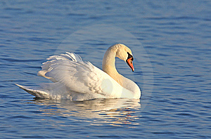 Mute Swan On Blue Water Royalty Free Stock Images - Image: 17737119