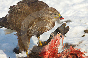 Common Buzzard (Buteo Buteo) Stock Photo - Image: 17744960