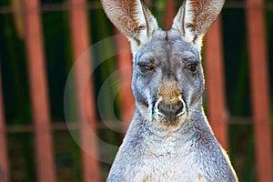 Kangaroo Staring Royalty Free Stock Image - Image: 17746186