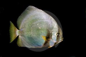 Orbicular Batfish (Platax Orbicularis) Stock Image - Image: 17748481