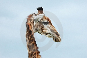 Textured Giraffe Head Royalty Free Stock Images - Image: 17752809