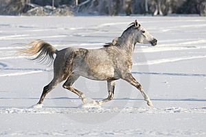 White Horse Runs Trot Royalty Free Stock Images - Image: 17753119