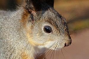 Squirrel Stock Image - Image: 17754471