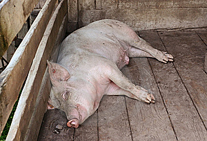 Pig Sleeping In A Pigpen Royalty Free Stock Photo - Image: 17756395
