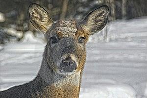 Deer Head Royalty Free Stock Photo - Image: 17760255