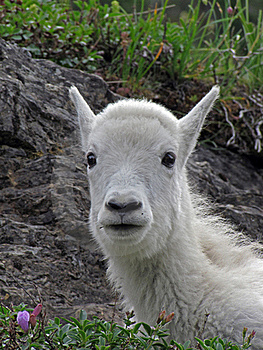 Mountain Goat Kid Portrait Royalty Free Stock Image - Image: 17761086