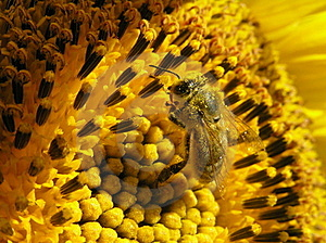 Bee On Sunflower Royalty Free Stock Photos - Image: 17761798