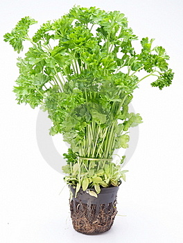 Bunch Of Parsley Royalty Free Stock Images - Image: 17762789