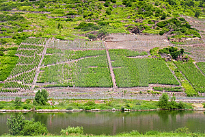 Vineyard In Moselle Valley Royalty Free Stock Photo - Image: 17764945