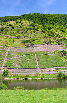 Vineyard In Moselle Valley Stock Images - Image: 17764974
