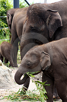 Hungry Elephants. Royalty Free Stock Photos - Image: 17772548