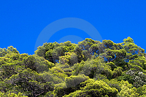 Pine Tree Tops Royalty Free Stock Photography - Image: 17777007