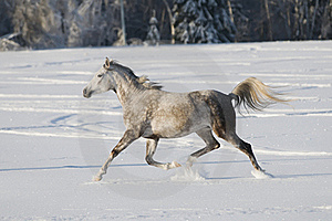 White Horse Runs Trot Royalty Free Stock Photography - Image: 17780267