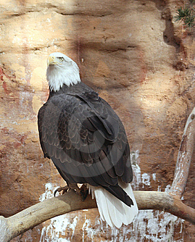 Bald Eagle Roost Royalty Free Stock Image - Image: 17781966