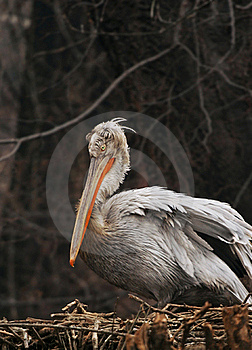 Pelican Nest Royalty Free Stock Images - Image: 17784989