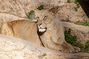 Lioness Resting Stock Photo - Image: 17786120