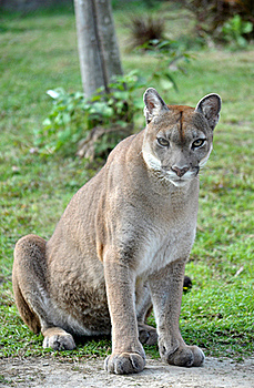 The Cougar Stock Photography - Image: 17789852