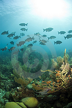 Schooling Chubs In Roatan Stock Image - Image: 17790131