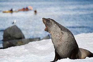 Rosnado Do Lobo-marinho Foto de Stock - Imagem: 17796380