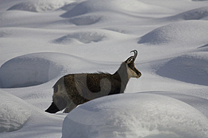 Chamois On The Snow Stock Image - Image: 17797011