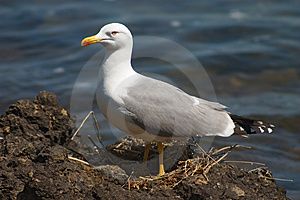 Seagull Bird In The Nest Royalty Free Stock Photo - Image: 1788255