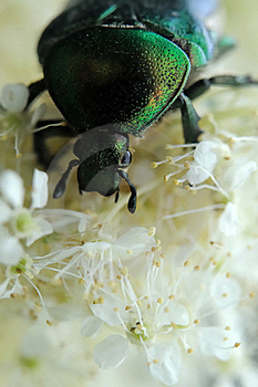 Rose Chafer Royalty Free Stock Images - Image: 17811879
