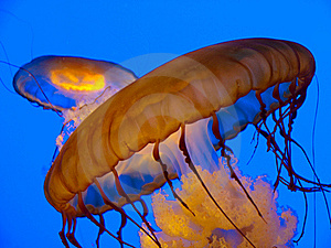 Orange Jelly Fish Royalty Free Stock Photos - Image: 17815068