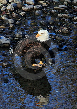Bald Eagle Royalty Free Stock Image - Image: 17816346