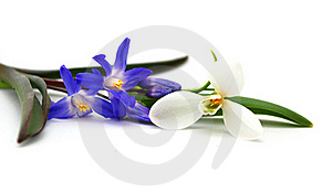 Purple Crocus Plant Vase Royalty Free Stock Images - Image: 17818939