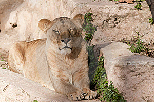 Lioness Resting Royalty Free Stock Image - Image: 17823416