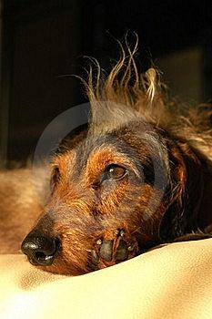 вихор портрета Dachshund Стоковые Изображения - изображение: 17829374