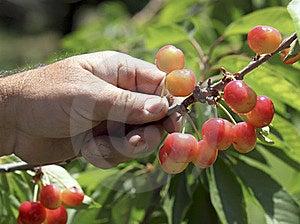 Hand Picked Cherries Stock Photos - Image: 17834203