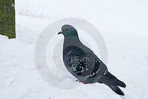 Grey Pigeon Royalty Free Stock Photo - Image: 17834775