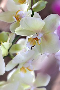 Orquidea Royalty Free Stock Photos - Image: 17835998
