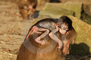 Baby Baboon On The Back Of Its Mother Stock Photo - Image: 17836350