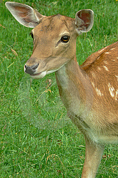 Deer Royalty Free Stock Photos - Image: 17837558