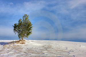 Evergreen In Snow Royalty Free Stock Images - Image: 17839089