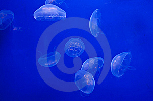 Jellyfish On Blue Royalty Free Stock Photography - Image: 17840417