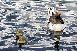 Mama Duck And Babies Swimming Stock Photos - Image: 17842863