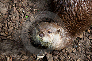 Otter Is Looking Stock Photo - Image: 17845390