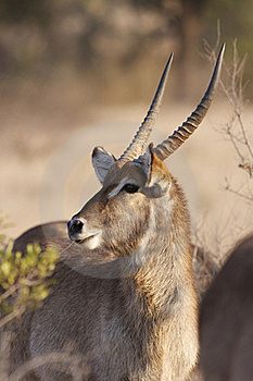 Water Buck Portrait Stock Image - Image: 17845411