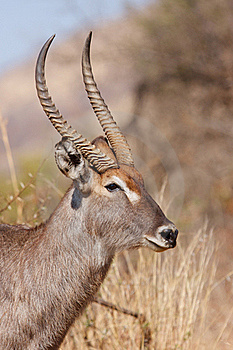 Water Buck Royalty Free Stock Image - Image: 17845416