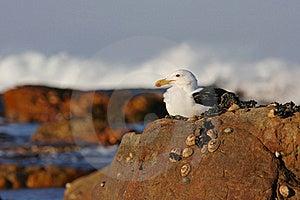 Kelp Gull Royalty Free Stock Image - Image: 17846246