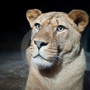 Close-up Portrait Of A Majestic Lioness Stock Photos - Image: 17847433